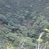 八丈富士の火口にはヤマグルマが茂ってる