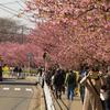 三浦海岸桜まつり2019 #2