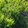 地区清掃終えてベンチの花木槿(あ)