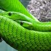 新種のヘビの名はスリザリン