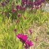 風揺、紫のささやき(差木地地区に小さく咲くバビアナ)