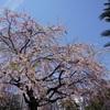 桜クエスト6(浅草→上野)