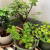 【栄養豊富】パセリを栽培して大量消費を目指します!