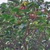 モチ(黐)の木と鳥モチ(黐)