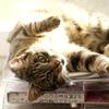【猫の病気】人間の生活環境で猫伝染性腹膜炎を引き起こす可能性あり