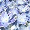【万華鏡】グラデーションが印象的な八重咲きアジサイ!〜我が家に万華鏡がやって来た〜