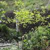 2012/04/26 柿の木の若葉 太陽に照らされて瑞々しい