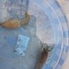 水棲生物達の水替え&脱皮ほやほやのザリガニ✄