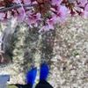 「靴下ラン」の季節到来!! 梅が見頃♪