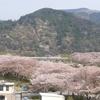 家山の桜は見頃過ぎ ~まずは到着~