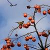 ウグイスかと思いきやメジロかと思いきや外来種ソウシチョウでした 苗木城跡の野鳥 岐阜県中津川市