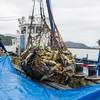 2020年9月26日 小浜漁港 お魚情報