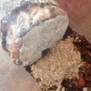 レギウスオオツヤクワガタ 割出 13頭の幼虫回収に成功