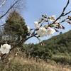 「マダム倶楽部」活動報告 「四季の丘」は満開の白いコブシで彩られ、桜の大木からパワーを頂き、おばちゃんたちはカロリーも頂く♪ 3月20日