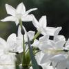 花のうしろ Narcissus