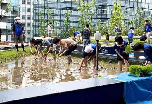 オフィス街も田植えの季節になりました。東京・竹芝の豊かな自然環境を生かした稲作が今年もスタート
