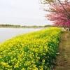 【新潟市・西蒲区】『上堰潟公園』へ、菜の花と桜のお花見ピクニックに行きました♪