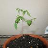 「楓・けやきの育て方: 作る楽しさを味わえる樹種 盆栽樹種別シリーズ (KBムック)」を読んで