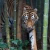 アムールトラ Panthera tigris altaica
