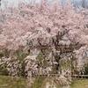 半木の道のしだれ桜。京都府立植物園の桜。
