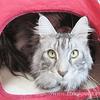大型猫用トイレと腸内フローラ検査:メインクーン猫シルルのもふもふ
