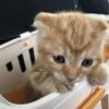 【必見】猫界の救世主?スコティッシュが好きなら必ず見るべき