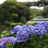 清澄庭園で5本のレンズ(重すぎ!)で、あじさいを撮る