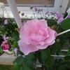 ミモザ・ガーデンの日記ー薔薇が咲いた