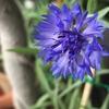 矢車菊の紫も鮮やかできれい
