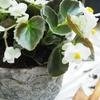 古臭い花?昭和な花?〜ベゴニア セネタホワイト