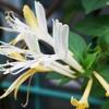 スイカズラ(忍冬 金銀花)花言葉~効能があるって!どうやって使うの?