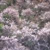 春告花ー樹木編