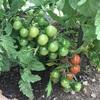 #5 夏野菜'19 ミニトマト初収穫とナス害虫とピーマン着果など