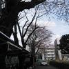 今年の桜はまだ蕾