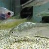 【銀鱗ヤリタナゴ】美しい鱗『銀鱗』になる理由や釣り場、飼育方法