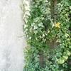 今年の蔦の葉と 3月の白い花