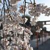 桜咲く平野神社