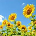 太陽に向かって咲くひまわり🌻