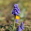 早春の花、ムスカリ