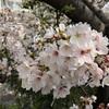 目黒川の桜並木を歩く