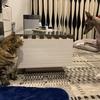 犬と猫の小競り合い(イタグレと雑種猫の日常)