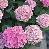 ピンク色の紫陽花がきれい