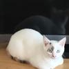猫の耳掃除なんて絶対無理だと思ったが、意外とできた話。