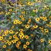 夏の黄色の「まつこの庭」