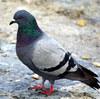 ワシのふとももにババ落とした鳩、ちょっと来い話がある