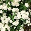 名残りの白い花たち