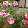 ボタンの開花