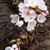 金沢でも開花宣言がありました