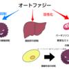 ノーベル生理学・医学賞の大隅氏が解明したオートファジーとは タンパク質合成から再利用まで