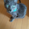 猫の糖尿病 耳からの採血の仕方